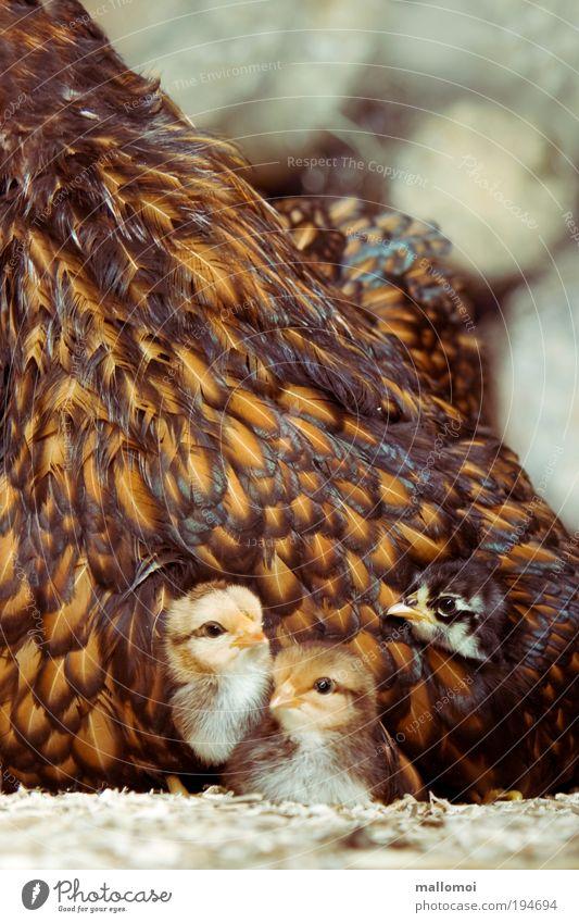 Zuhause Haustier Nutztier Haushuhn Küken Tiergruppe Tierjunges Zusammensein kuschlig niedlich Wärme weich braun Zufriedenheit Vertrauen Sicherheit Schutz