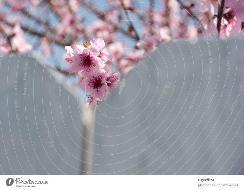 Kirschblütenspitzen Kirsche; Baum; Blüte; rosa; Zaun; weiß; Natur; Ast; Blüte; Frühling; Frühjahr; Frühling schön hübsch Gipfel Nahaufnahme Blume Vorbau