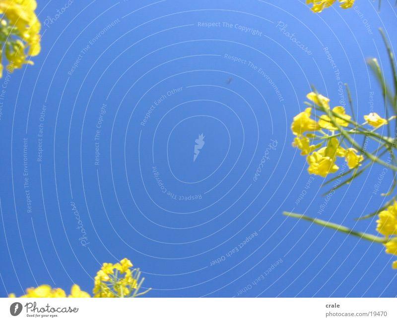 gelbe blüten Himmel blau Pflanze Raps