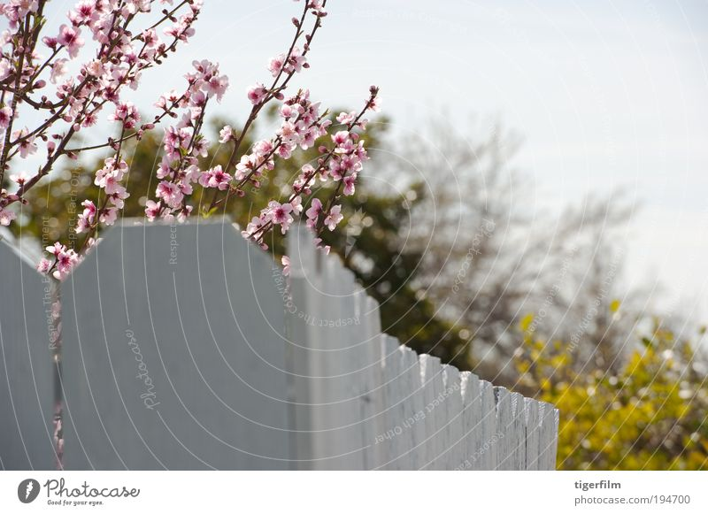 Kirschblütenzweige über dem Zaun Kirsche; Baum; Blüte; rosa; Zaun; weiß; Natur; Ast; Blüte; Frühling; Frühjahr; Frühling schön hübsch Gipfel Nahaufnahme Blume