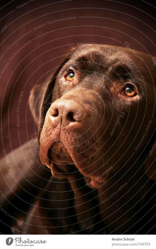 Labrador Bruno Tier Haustier Hund Tiergesicht 1 beobachten liegen Blick Freundlichkeit braun Vorfreude Vertrauen loyal Tierliebe Lebensfreude Chocolate Schnauze