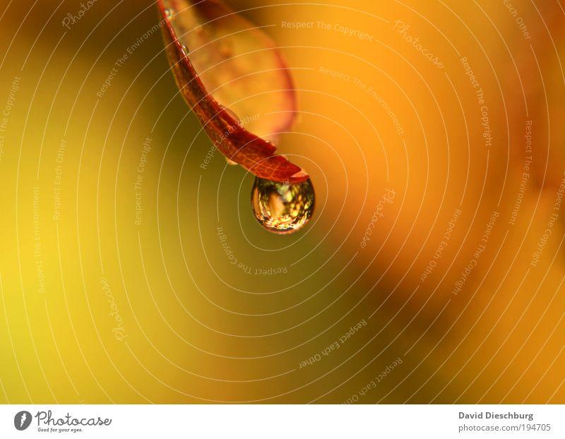 Orange world Leben harmonisch ruhig Natur Pflanze Wassertropfen Frühling Sommer Blatt gelb silber orange Tau nass deutlich rund Farbfoto Nahaufnahme