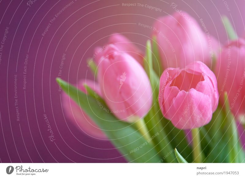 PINKe Zeiten Blume Tulpe grün violett rosa Farbe Frühling Blumenstrauß mehrfarbig Sonnenlicht frisch leuchtende Farben Gruß Farbfoto Innenaufnahme Menschenleer