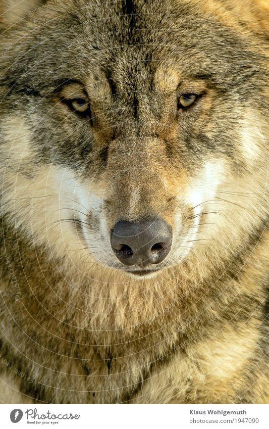 Isegrim Umwelt Natur Tier Winter Zoo Wolf 1 beobachten Blick warten bedrohlich Neugier braun grau weiß Fell Farbfoto Außenaufnahme Nahaufnahme Menschenleer Tag