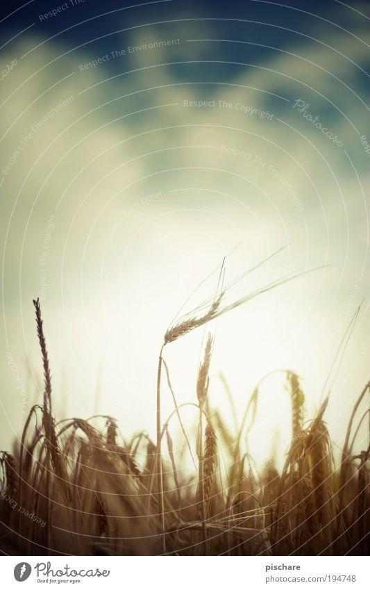 Erntezeit Natur Sonne Pflanze Wolken gelb Erholung Herbst braun Feld Umwelt gold ästhetisch Wachstum authentisch Bauernhof Lebensfreude