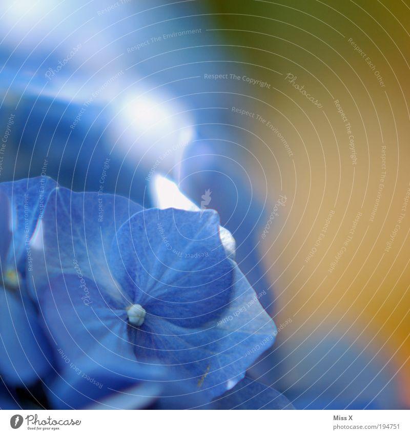 Hortensie II Natur Frühling Sommer Pflanze Blume Blatt Blüte Park Wiese Blühend Duft exotisch Farbe Hortensienblüte Dekoration & Verzierung Blütenblatt