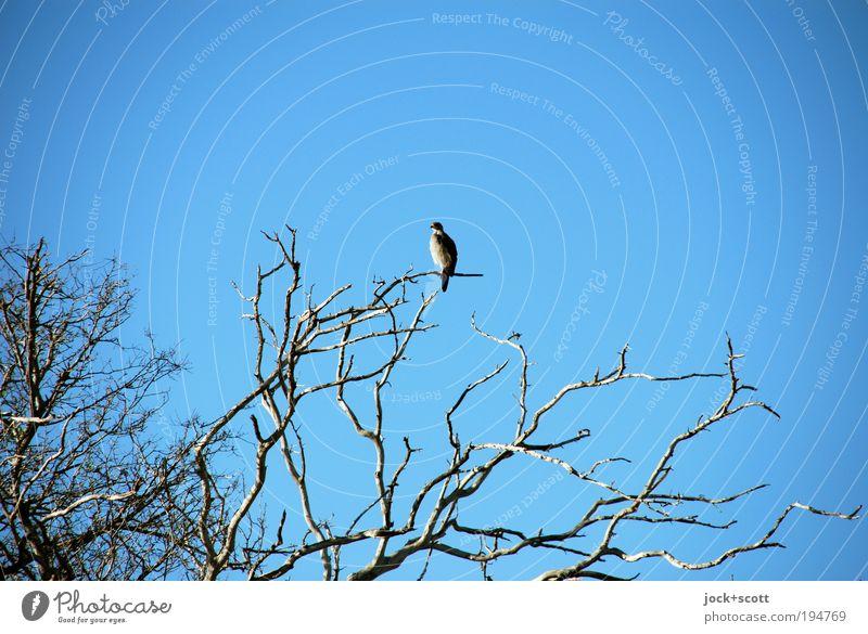 jetzt bin ich hier, wo bleibt ihr? blau Baum Einsamkeit Tier Wärme Holz oben Vogel Zufriedenheit Wildtier sitzen warten beobachten Schönes Wetter einfach