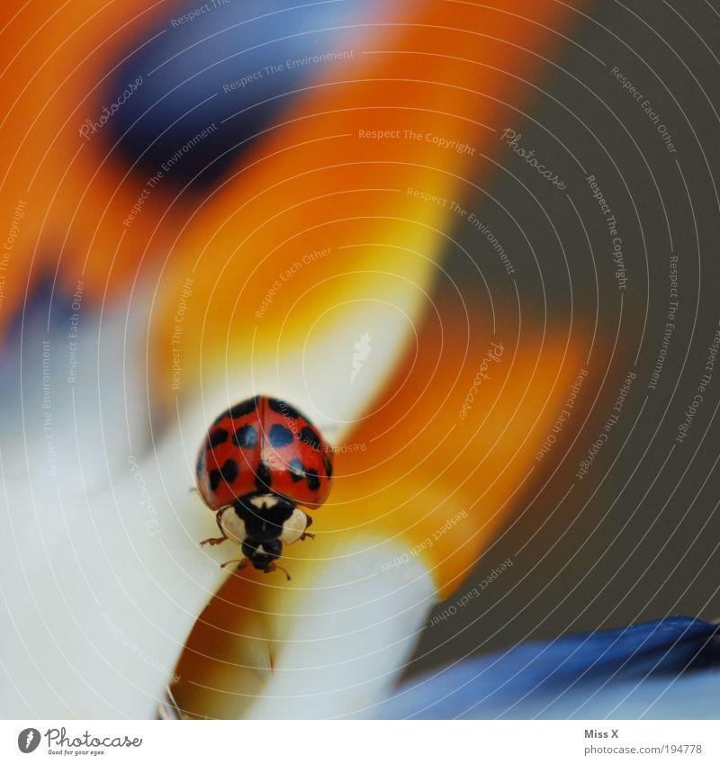 der Letzte seiner Art Natur Pflanze Blume Blatt Blüte exotisch Park Wiese Käfer 1 Tier Blühend Duft krabbeln schön klein mehrfarbig Farbe Glück Glücksbringer