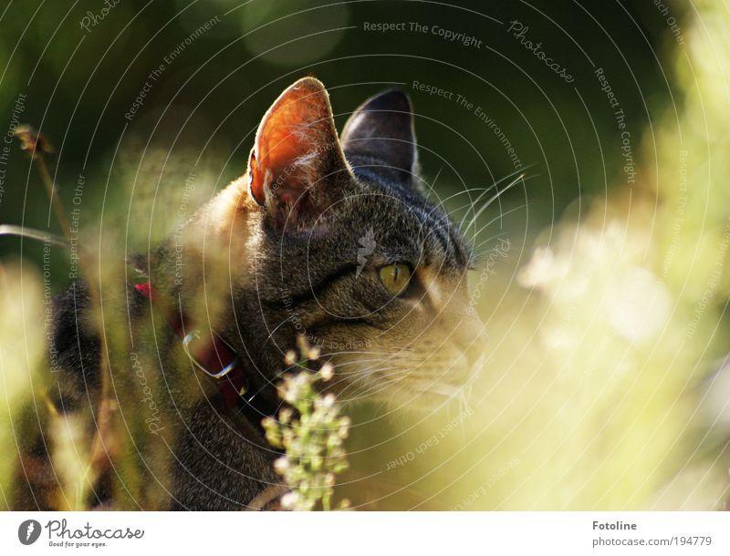 Auf der Jagd Natur schön Pflanze Sommer Tier Wiese Gras Garten Katze Park Wärme hell Wetter Umwelt Ohr weich