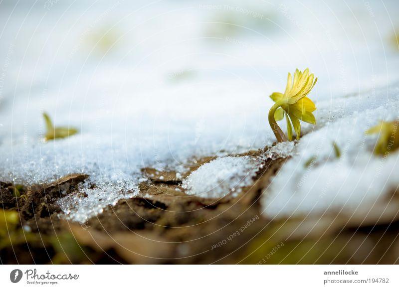 Der Winter geht Natur Pflanze Blume Blatt Landschaft Umwelt Schnee Frühling Blüte klein Park Wachstum frisch Klima Blühend Schönes Wetter