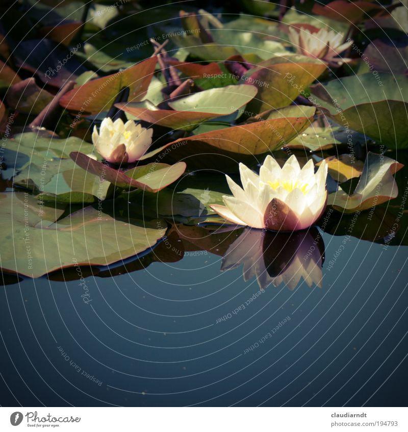 Schneewittchen Sommer Natur Pflanze Wasser Blume Blatt Blüte Wasserpflanze Seerosen Seerosenteich Seerosenblatt Teich Garten Park Blühend ästhetisch schön blau