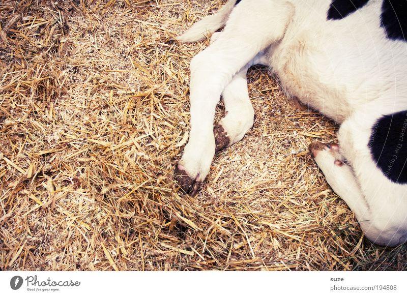 1x Kalbshaxe Tier Nutztier Kuh Tierjunges schlafen Tierliebe scheckig gefleckt Stroh Stall tierisch Beine Farbfoto Gedeckte Farben Detailaufnahme Menschenleer