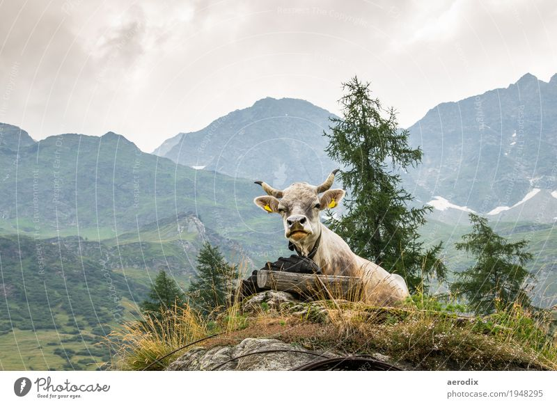 eine Kuh thront vor alpinem Hintergrund Natur Landschaft Alpen Berge u. Gebirge Nutztier 1 Tier authentisch frech lustig natürlich sitzen erholen wiederkäuen