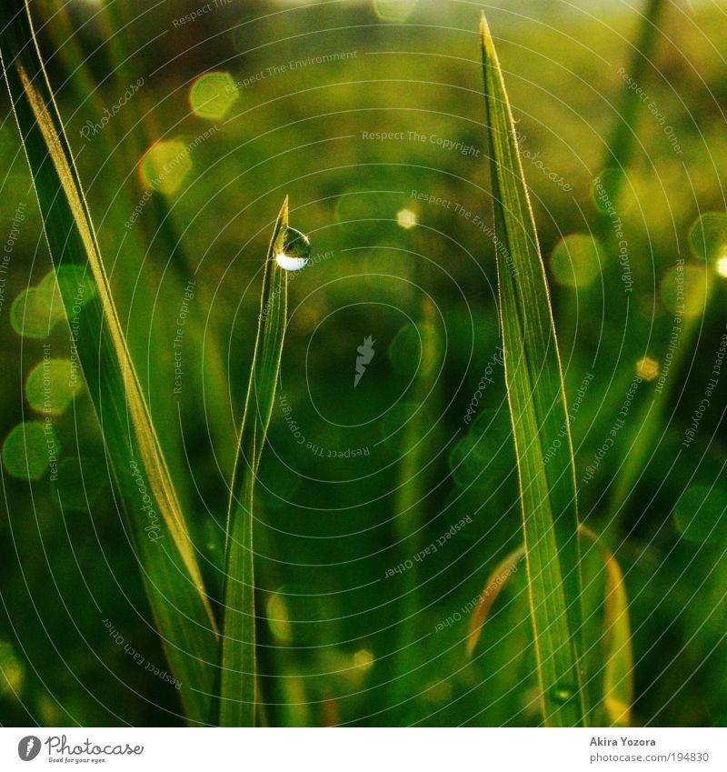 Morgentau Natur grün weiß schwarz gelb Frühling Wiese Gras natürlich glänzend Wachstum leuchten ästhetisch Wassertropfen nass Romantik