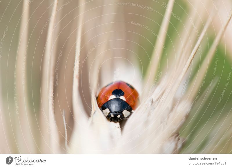 wildes Tier Natur rot Glück Umwelt Marienkäfer Käfer krabbeln Nutztier