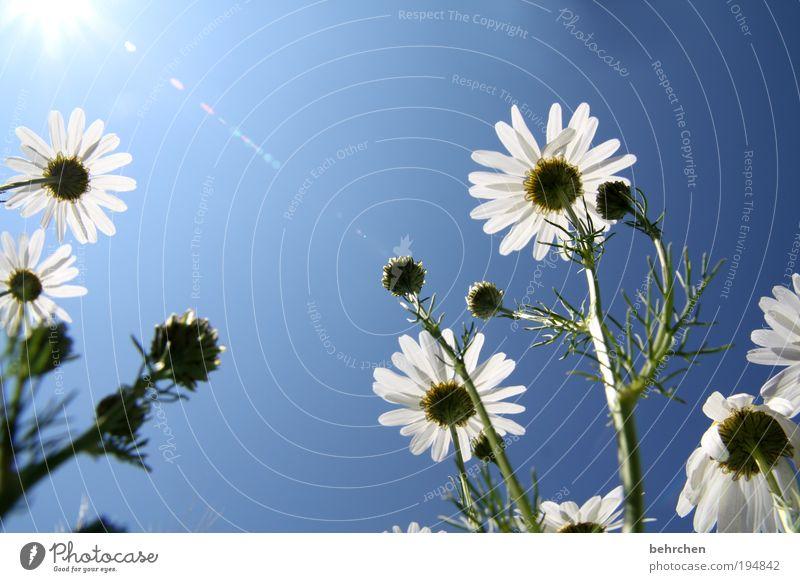 summertime Sommer Sonne Umwelt Natur Pflanze Tier Wolkenloser Himmel Klimawandel Schönes Wetter Blume Gras Wiese Feld Blühend Duft blau Freude Fröhlichkeit
