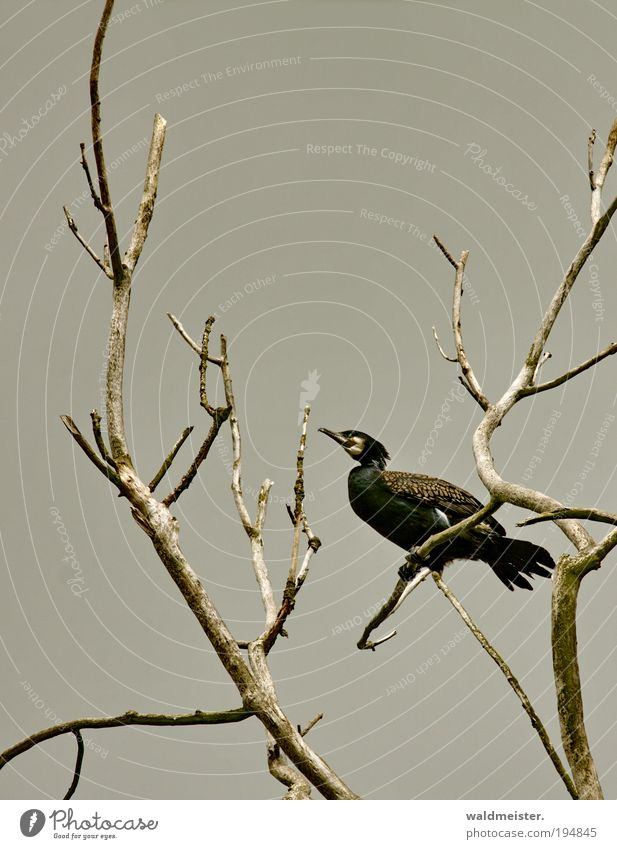 Kormoran Himmel Baum Ast Tier Vogel sitzen Wachsamkeit Umweltschutz Artenschutz Farbfoto Außenaufnahme