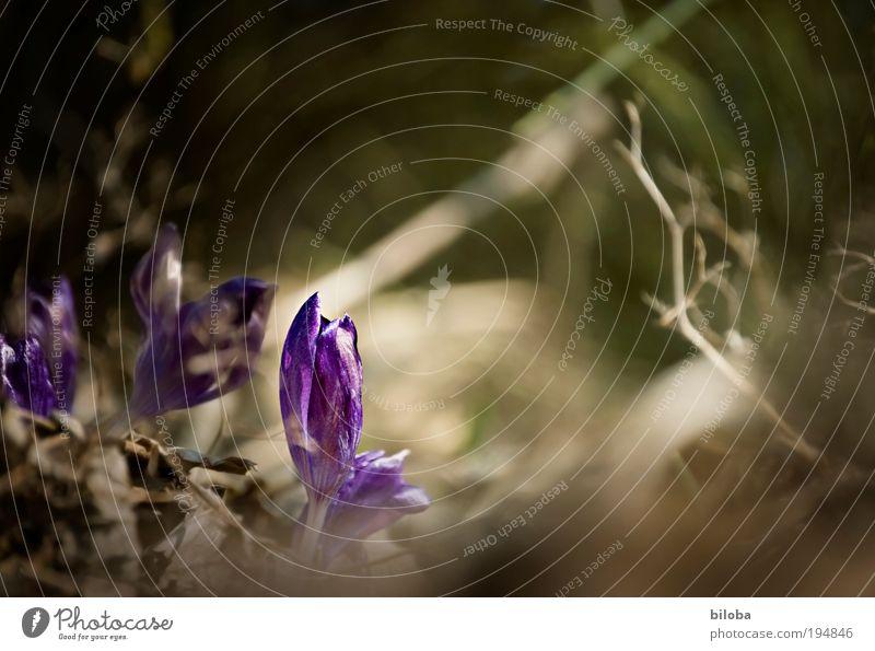 Frühlingserwachen II Umwelt Natur Pflanze Blume Blüte Krokusse frisch schön natürlich neu Neugier blau grün Gefühle Stimmung Freude Glück Frühlingsgefühle