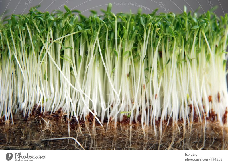 Diätplan grün Pflanze Ernährung Lebensmittel Gesundheit Wachstum Kräuter & Gewürze viele Küche zart Gemüse dünn Appetit & Hunger Samen nachhaltig Qualität