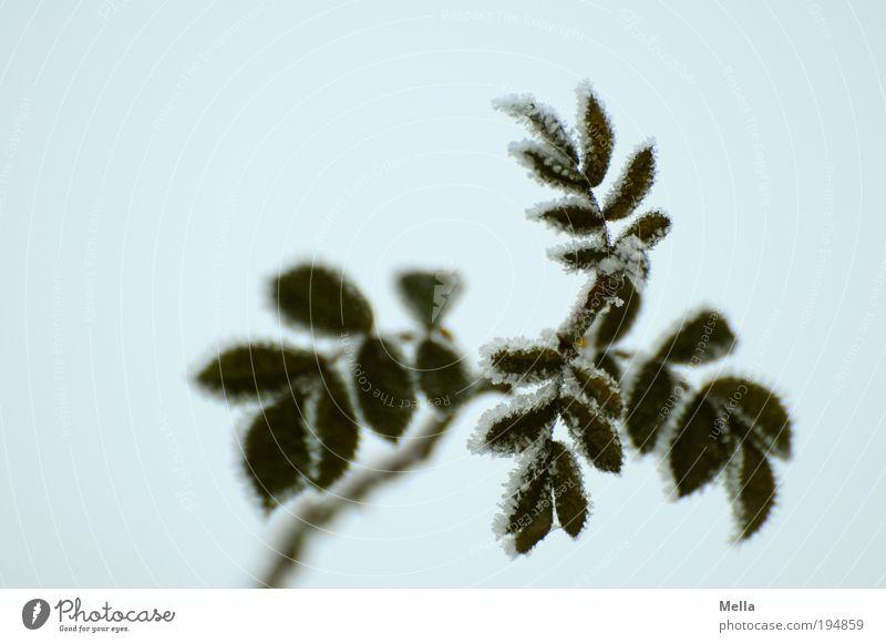 Randvoll Natur Blume grün Pflanze Winter Blatt kalt grau Eis Umwelt Rose trist Frost Klima natürlich