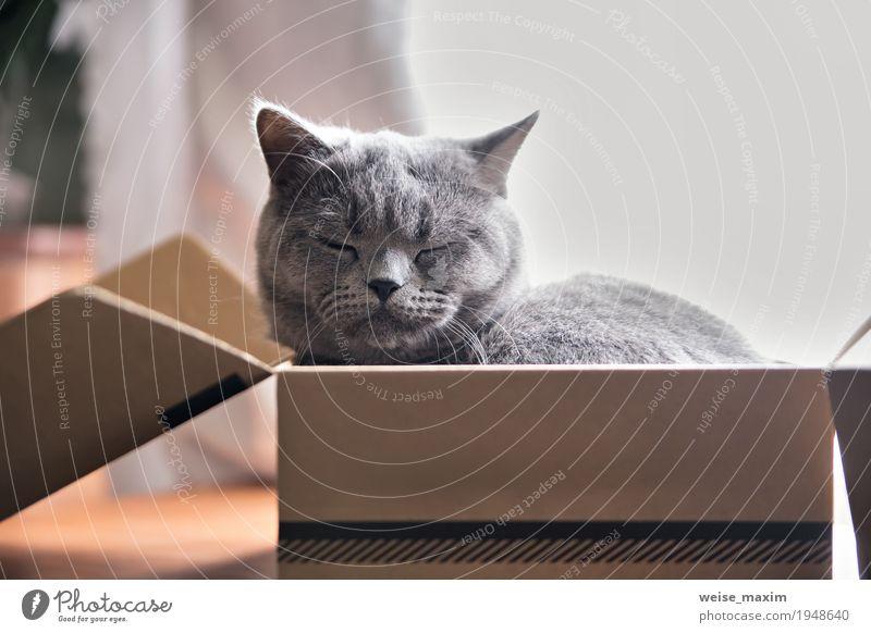 Schöne graue Katze, die im Kasten schläft. Britischer Kätzchenschlaf Freude schön Wohnung Tier Haustier 1 Tierjunges Spielzeug Verpackung schlafen sitzen klein