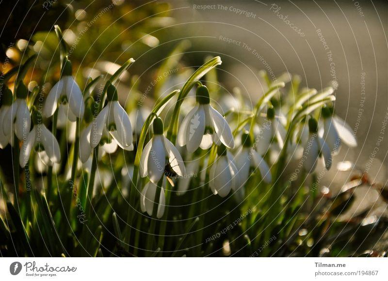 Schneeglöckchen in der Abendsonne Duft Natur Pflanze Frühling Schönes Wetter Wiese Blühend hängen Wachstum Gesundheit Glück Kitsch klein niedlich schön gold