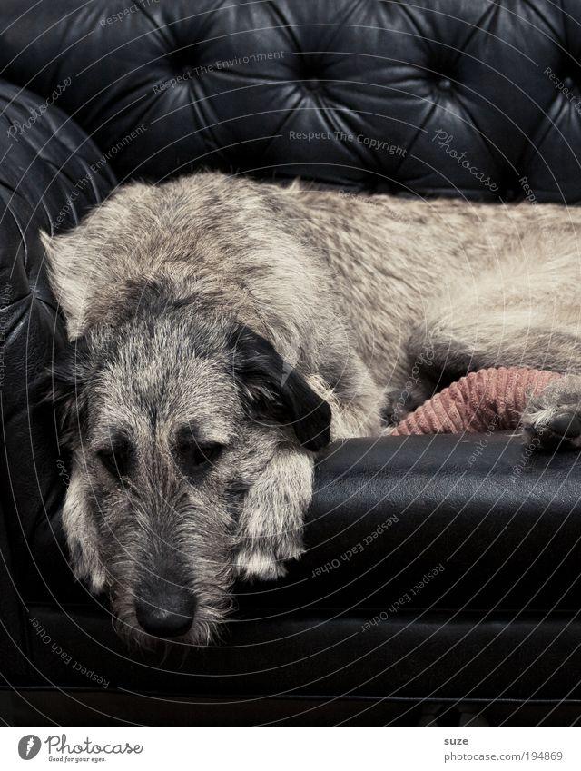 Ruhestand Hund alt Tier schwarz Erholung Traurigkeit träumen liegen Zufriedenheit schlafen Fell Tiergesicht Sofa Haustier Säugetier Tierzucht