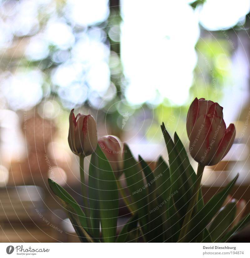 Light build your picture II weiß grün schön Sommer Pflanze Blume Blatt Frühling Blüte hell rosa Dekoration & Verzierung Blumenstrauß Tulpe silber