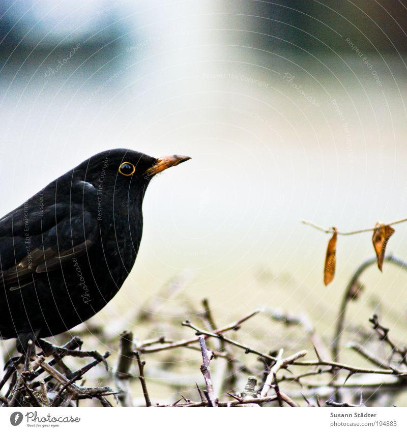 Amsel Pflanze Blatt schwarz Tier Wiese Frühling Garten Park Vogel warten Sträucher Tiergesicht Flügel Fell hören Wildtier