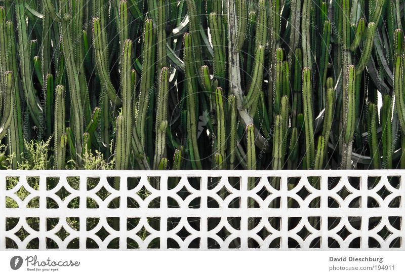 Viel Spaß beim stutzen Pflanze Sommer Kaktus Grünpflanze Garten Park grün weiß Wachstum Zaun Linie horizontal Farbfoto Außenaufnahme Muster Strukturen & Formen