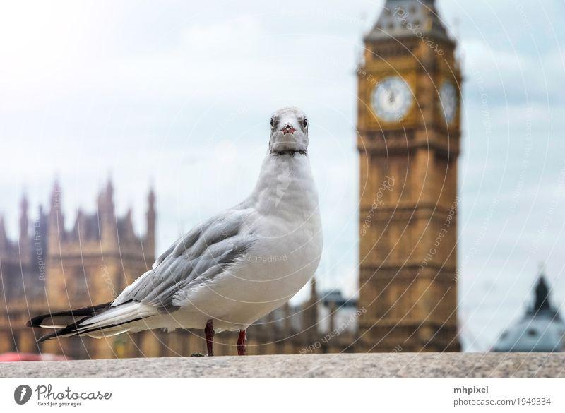 Möve am Big Ben Ferien & Urlaub & Reisen Tourismus Ausflug Städtereise London England Europa Stadt Hauptstadt Hafenstadt Stadtzentrum Palast Turm Bauwerk
