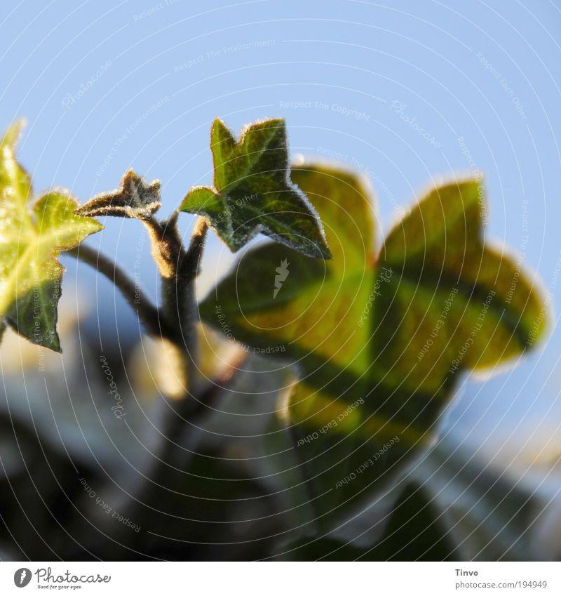 Photosynthese Natur grün blau Pflanze Winter Blatt Eis Wachstum Frost Schönes Wetter Raureif überwintern Efeu Blattadern Grünpflanze