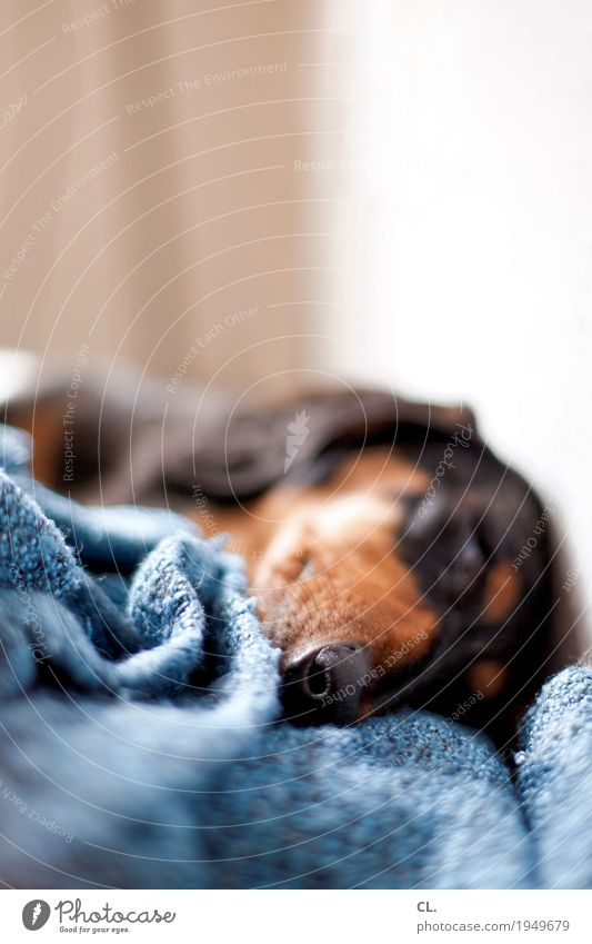 winterschlaf Häusliches Leben Tier Haustier Hund Tiergesicht 1 Decke liegen schlafen niedlich Tierliebe Erholung Farbfoto Innenaufnahme Nahaufnahme Menschenleer