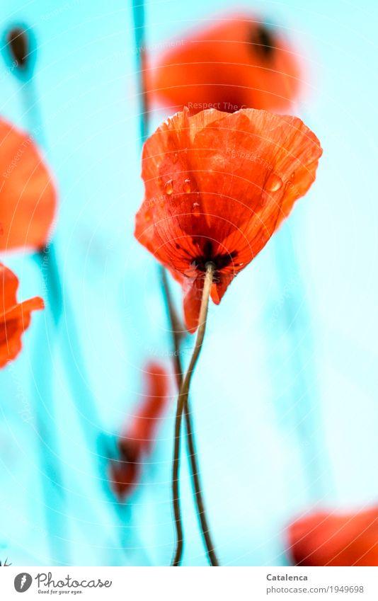 Verregneter Mohntag Himmel Natur Pflanze Sommer grün Umwelt Blüte Wiese natürlich Stimmung orange Design Regen Feld Wachstum ästhetisch