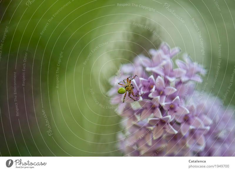 Frohe Ostern Natur Pflanze Tier Sommer Blüte Fliederbusch Sträucher Fliederblüte Garten Park Spinne Kürbisspinne 1 Blühend Duft verblüht ästhetisch grün violett