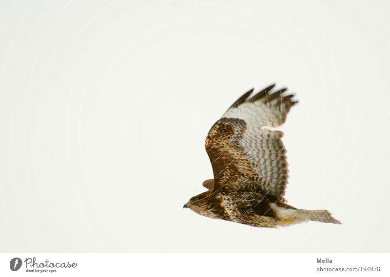 Der Dritte im Bunde Umwelt Natur Tier Luft Himmel Wildtier Vogel Flügel Mäusebussard 1 fliegen ästhetisch frei natürlich braun Stimmung Kraft Freiheit Leben