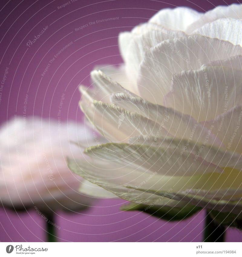 Ranunkel Natur schön weiß Blume Pflanze Blüte Frühling Paar Park 2 rosa elegant Umwelt Fröhlichkeit Wachstum violett