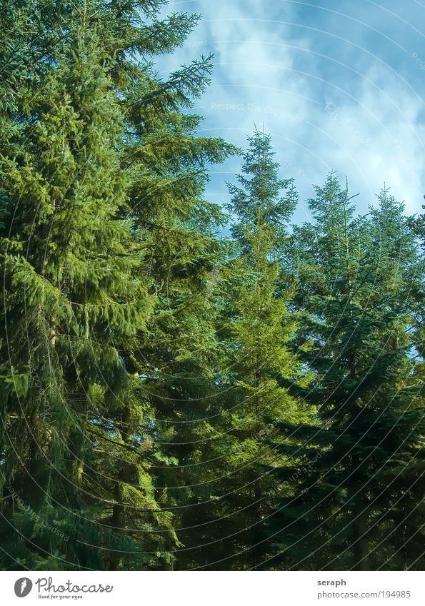Tief im Tannenwald Pflanze Wald Umwelt Holz natürlich Jahreszeiten Botanik Saison Wissenschaften pflanzlich Tannennadel Biologie Konifere