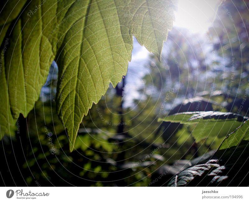 Viel Chlorophyll Umwelt Natur Pflanze Wolkenloser Himmel Sonnenlicht Frühling Sommer Klima Klimawandel Schönes Wetter Wärme Baum Blatt Grünpflanze Park Wald