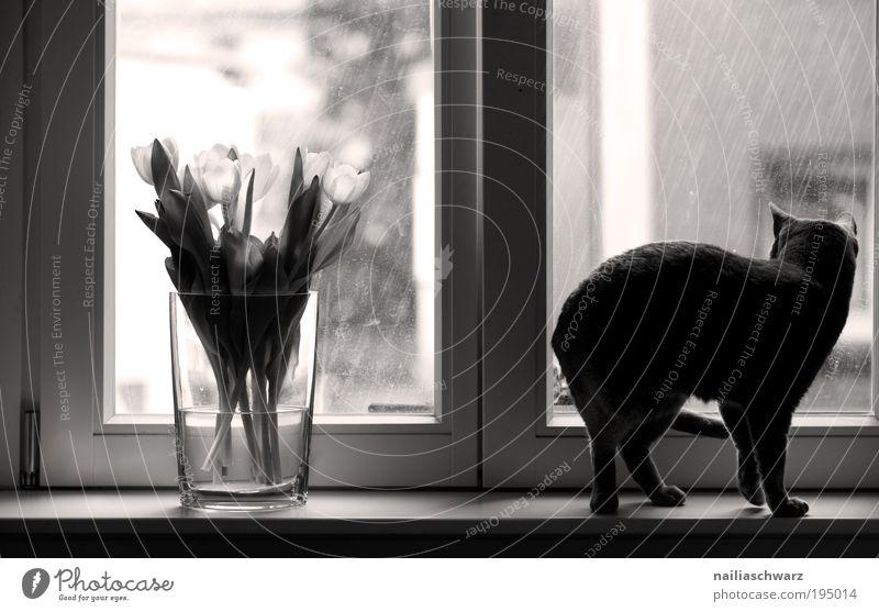 Katzenwetter Blume Pflanze Haus Tier Gefühle Fenster Regen Wassertropfen beobachten Tulpe Haustier Licht Perspektive Schwarzweißfoto