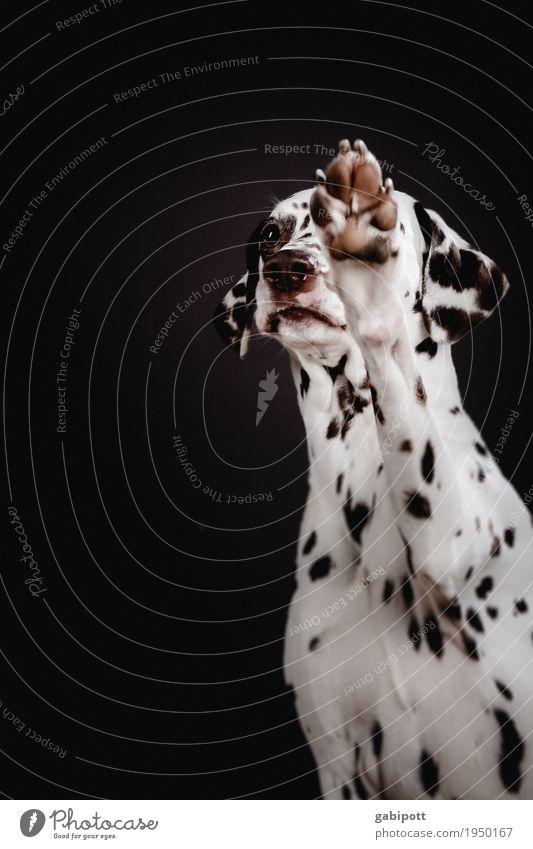 Bitte bitte! Tier Haustier Hund Dalmatiner 1 beobachten betteln Wunsch Hundeblick Tierliebe Pfote niedlich sympathisch Punkt gepunktet Freundlichkeit Farbfoto