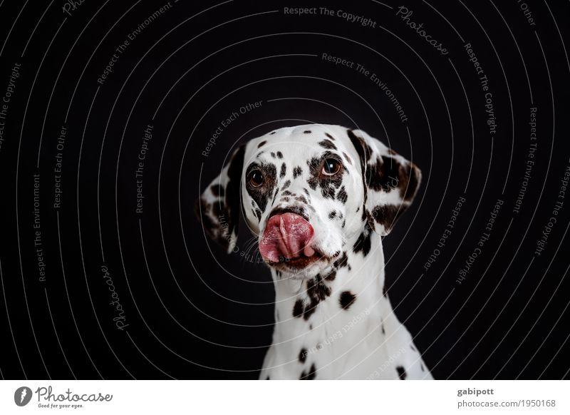 Es riecht doch so gut Tier Haustier Hund Dalmatiner 1 beobachten Freundlichkeit schön lustig niedlich rot schwarz weiß Tierliebe betteln Hundeblick Wunsch