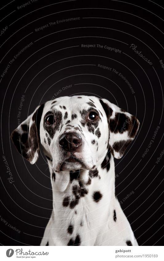 lieb guck Tier Haustier Hund 1 beobachten betteln Wunsch Freundlichkeit Tierliebe Hundeblick niedlich herzbewegend gepunktet Schwarzweißfoto Farbfoto