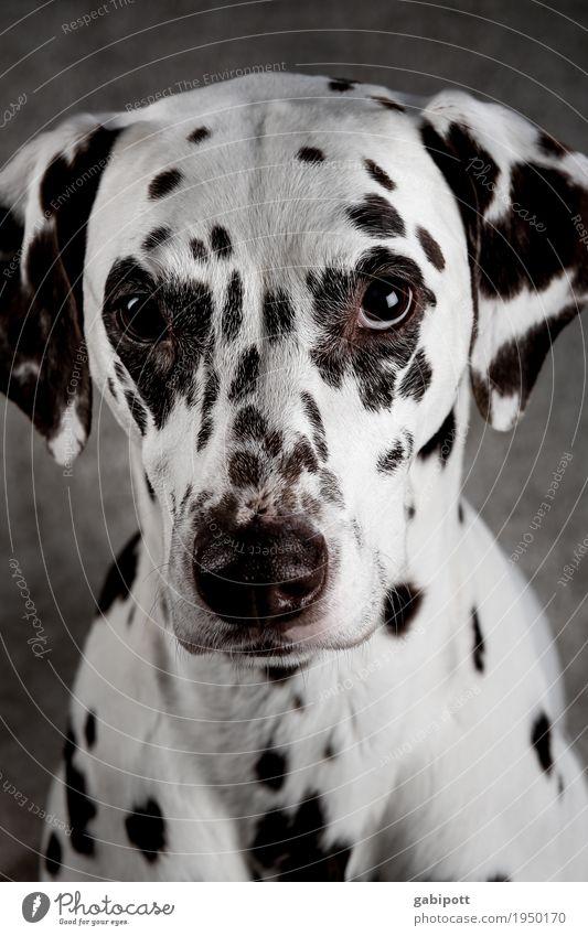 Süß - er Hundeblick :-) Tier Haustier Nutztier 1 Freundlichkeit glänzend Neugier weich schwarz weiß süß niedlich betteln unschuldig Tierliebe Farbfoto