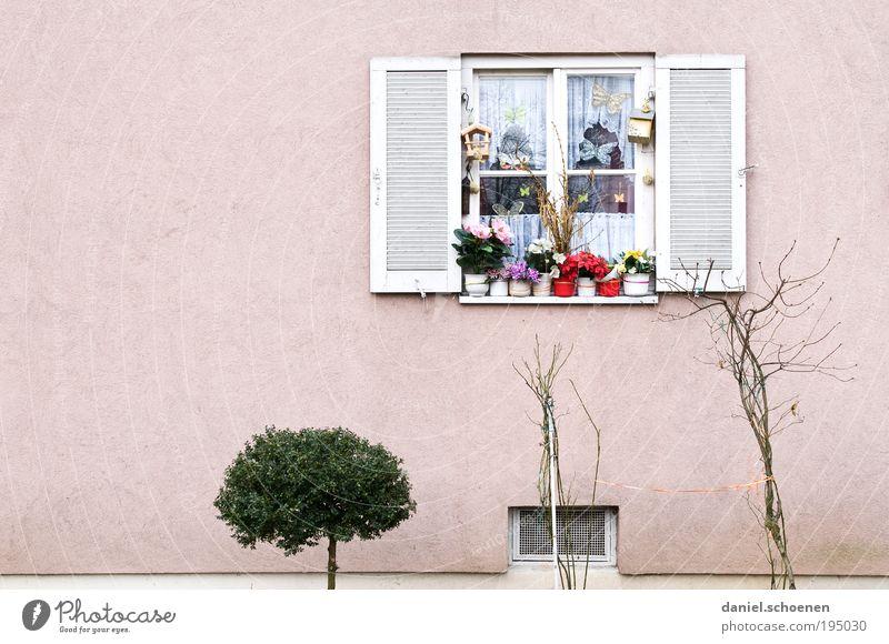 Frühling weiß Pflanze Blume Umwelt Fenster Wand Mauer Wetter rosa Fassade Sträucher Gardine Blumentopf Textfreiraum links