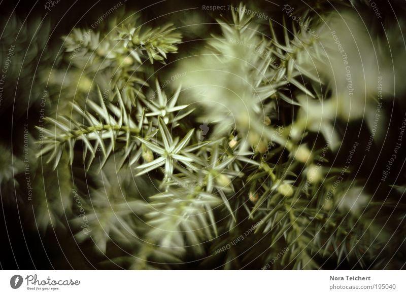 ... Umwelt Natur Landschaft Pflanze Tier Frühling Sommer Klima Baum Sträucher Grünpflanze Wildpflanze Park träumen ästhetisch schön einzigartig stachelig