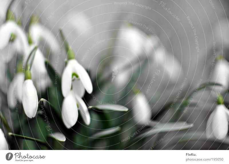 Schneeglöckchen Umwelt Natur Pflanze Frühling Blume Blatt Blüte ästhetisch frisch schön klein positiv grün weiß Glück Lebensfreude Frühlingsgefühle Vorfreude