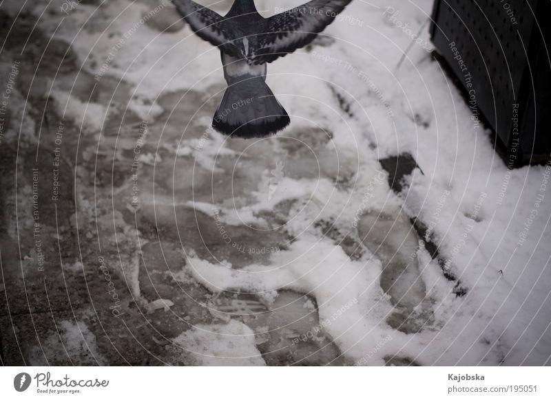 Running away Luft Winter Schnee Stadt Fußweg Spuren Tier Vogel Taube fliegen gehen frei Geschwindigkeit wild blau schwarz silber weiß Fernweh Einsamkeit Angst