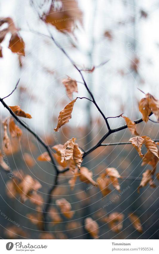 Herbstlich (1/2). Umwelt Natur Pflanze Winter Baum Buche Wald ästhetisch natürlich trocken braun schwarz Vergänglichkeit Ast Blatt Herbstlaub Farbfoto