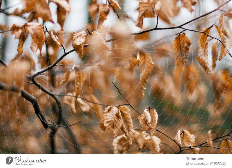 Herbstlich (2/2). Umwelt Natur Pflanze Winter Baum Buche Wald ästhetisch natürlich trocken braun schwarz Vergänglichkeit Ast Blatt Herbstlaub Farbfoto